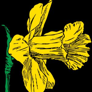 johnny automatic daffodil Thumbnail